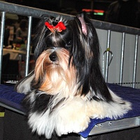 Dog show in SIAULIAI (LITHUANIA) 2016-04-23,2016-04-24 2X JN, 2X BEST JUNIOR, 2X BOB, BEST IN GROUP 2 and BEST IN GROUP 1